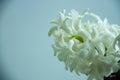 Flower - beautiful hyacinth