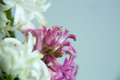 Flower - beautiful hyacinth