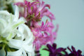 Flower - beautiful hyacinth Royalty Free Stock Photo