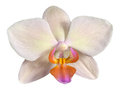 Flower of beautiful orchid Phalaenopsis in cream color Royalty Free Stock Photo