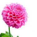 Flower and beautiful petals pink chrysanthemum isolated on white background Stock Photo