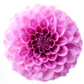 Flower and beautiful petals pink chrysanthemum isolated on white background Royalty Free Stock Photos
