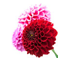 Flower and beautiful petals three chrysanthemum isolated on white background Stock Image