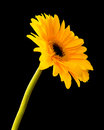 Flower beautiful yellow gerbera isolated on black background Stock Image