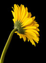 Flower beautiful yellow gerbera isolated on black background Royalty Free Stock Image