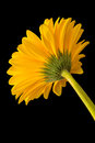 Flower beautiful yellow gerbera isolated on black background Stock Photography