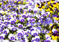 Flower bed bloom in the garden viola tricolor pansy Stock Photography