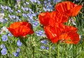 Flower bed with blue  linen  and  Papaver orientale Oriental po