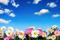 Flower bed and blue sky lush with white pink daisies in front of the deep fluffy little clouds Royalty Free Stock Photography