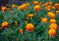 A flower bed of bright fragrant beautiful orange luxuriantly blooming marigolds growing in the garden Royalty Free Stock Photo