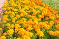 A flower bed of bright, fragrant, beautiful, orange, luxuriantly Royalty Free Stock Photo