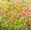 Flower bed of color roses floral background with flowering multicolored Stock Photo