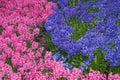 Flower-bed de hyacinths cor-de-rosa e do lilac Imagens de Stock Royalty Free