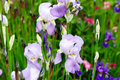 Flower bed irises beautiful purple flowers Stock Photo