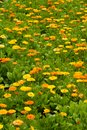 Flower bed with marigold calendula officinalis Royalty Free Stock Image