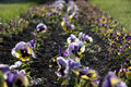 Flower bed with pansies Stock Image