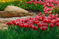 Flower bed with red and yellow tulips Royalty Free Stock Photo