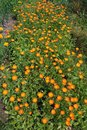 Flower bed  with blossoming medical marigold calendula herbs Royalty Free Stock Photo