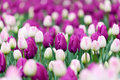 Flower bed with tulips Royalty Free Stock Photo