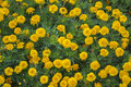 Flower bed of yellow marigolds Royalty Free Stock Photo