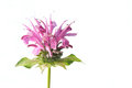 Flower of bee balm (Monarda didyma) Stock Images