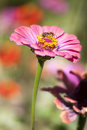 Flower with a bee eating beautiful pink magenta over nice little pollen blurred background Stock Photos