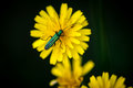 Flower beetle on daisy Royalty Free Stock Photo