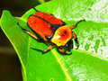 Flower beetle in queensland australia a brightly colored on green island of Stock Image