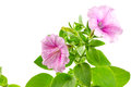 Flower blooming petunia isolated on white background Royalty Free Stock Photo