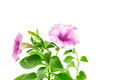 Flower blooming petunia isolated on white background Stock Image