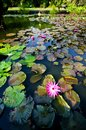 The pinky Water Lily flower is blooming in the pond Royalty Free Stock Photo