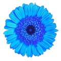 Flower  blue  Gerbera isolated on white background. Close-up. Element of design Royalty Free Stock Photo