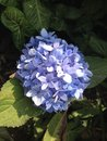 Flower blue hydrangea in the garden Royalty Free Stock Image