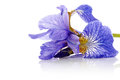 Flower of a blue iris. Royalty Free Stock Photo