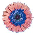 Flower  blue red Gerbera isolated on white background. Close-up. Macro. Element of design Royalty Free Stock Photo