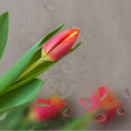 Flower bright background. Bouquet of red tulips behind glass with rain drop . Wedding, engagement, for loved ones all Royalty Free Stock Photo
