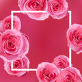 Flower bright flowers pink Rose, garden roses beautiful lovely s Royalty Free Stock Photo
