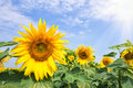 A flower of a bright yellow sunflower under a bright sun Royalty Free Stock Photo