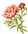Flower and Bud of peony with dew drops.