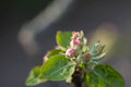 Flower buds on a branch of an apple tree Royalty Free Stock Photo