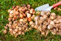 Flower bulbs in the garden with a shovel Stock Image