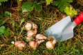 Flower bulbs in the garden with shovel Stock Photography