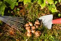 Flower bulbs in the garden with shovel and rake Royalty Free Stock Photography