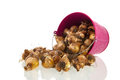 Flower bulbs in pink bucket Royalty Free Stock Photo