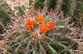 Flower of cactus in desert Royalty Free Stock Photo