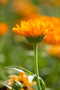 Flower of calendula on blossom Royalty Free Stock Image