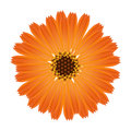 A flower of calendula on a white background.