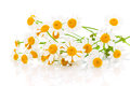 Flower camomile Royalty Free Stock Photo