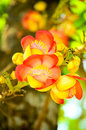 Flower of cannonball tree. Stock Photography