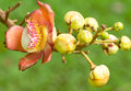 Flower of Cannonball tree close up Stock Images